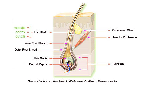 Illustation of a cross section of a hair follicle.